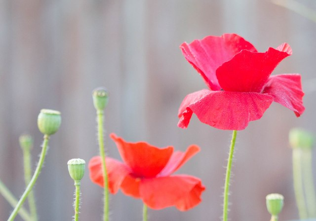 Poppy with Spiral Crop (1 of 1)